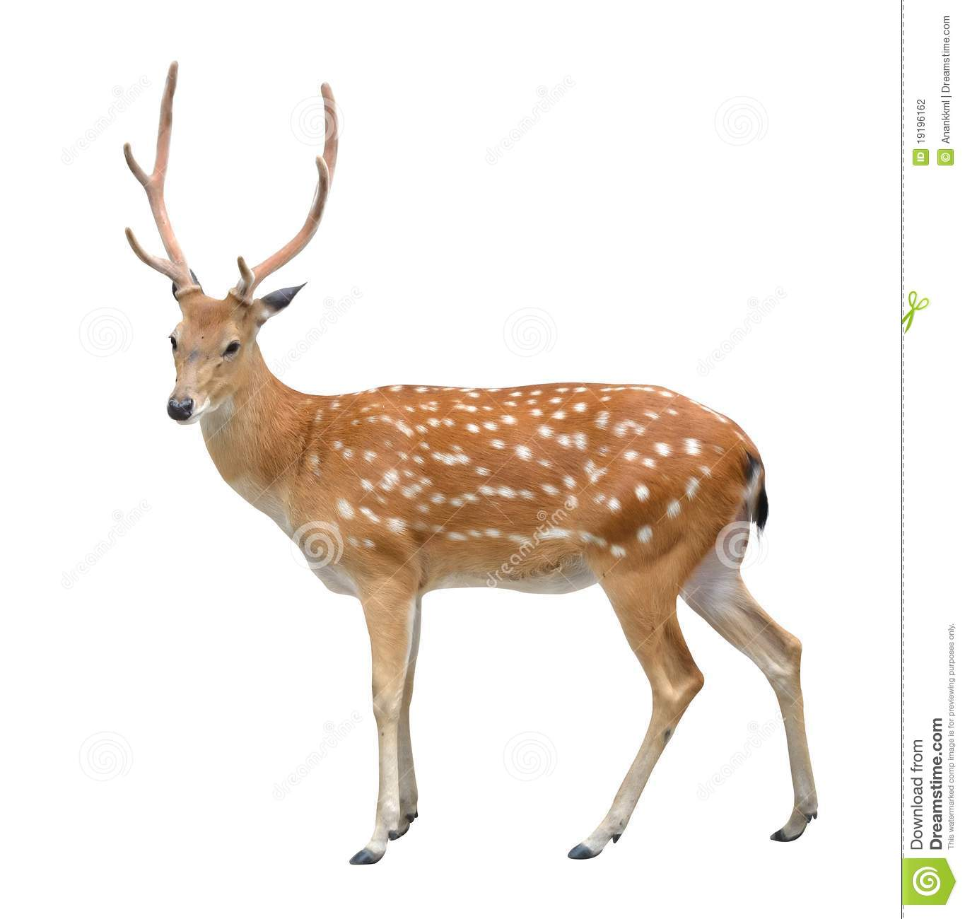 Deer Pictures Kids Search