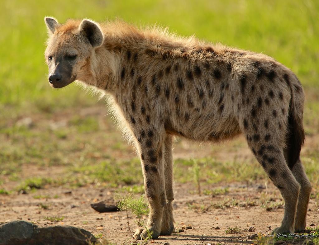 Hyeena
