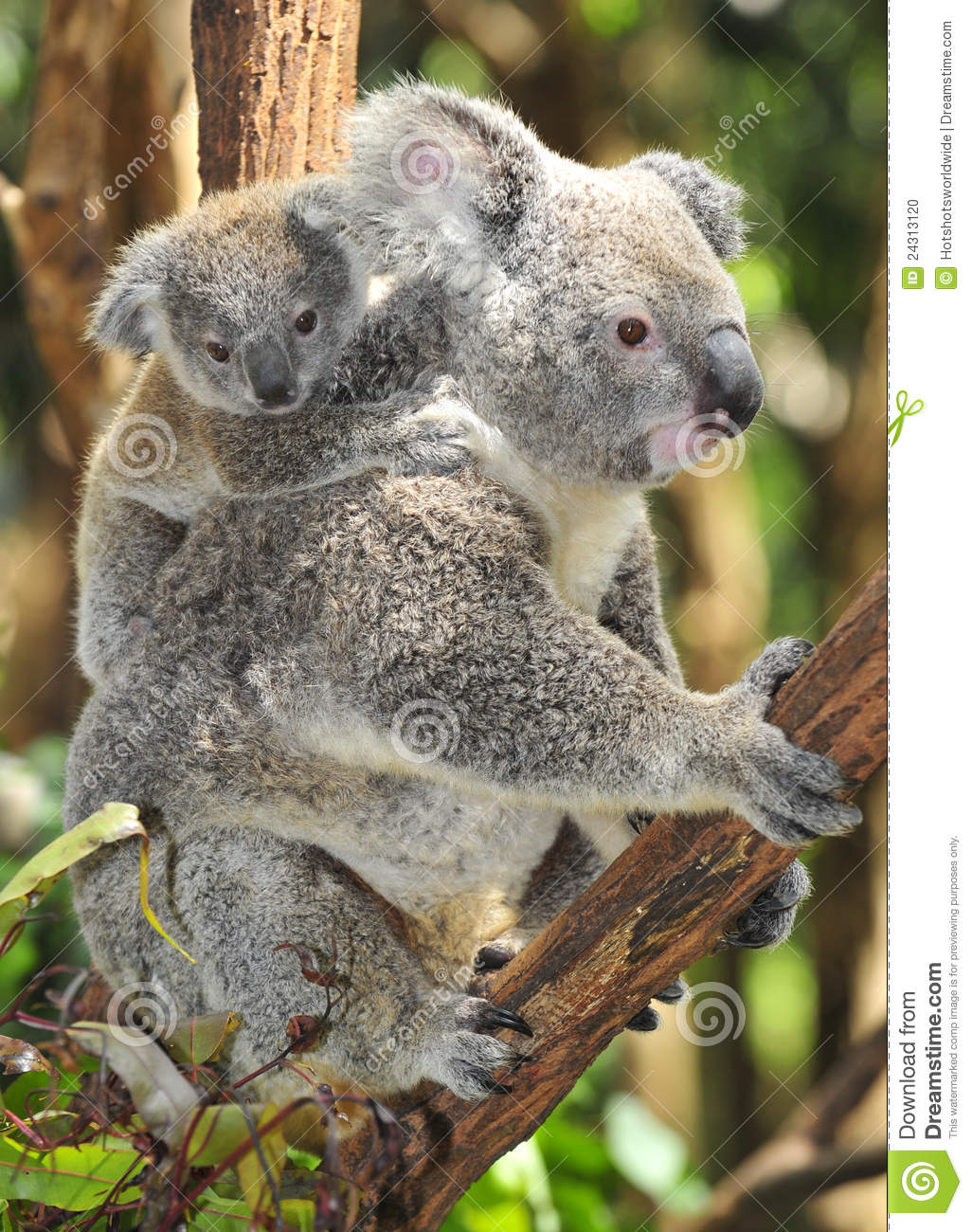 Koala Bear Pictures Kids Search