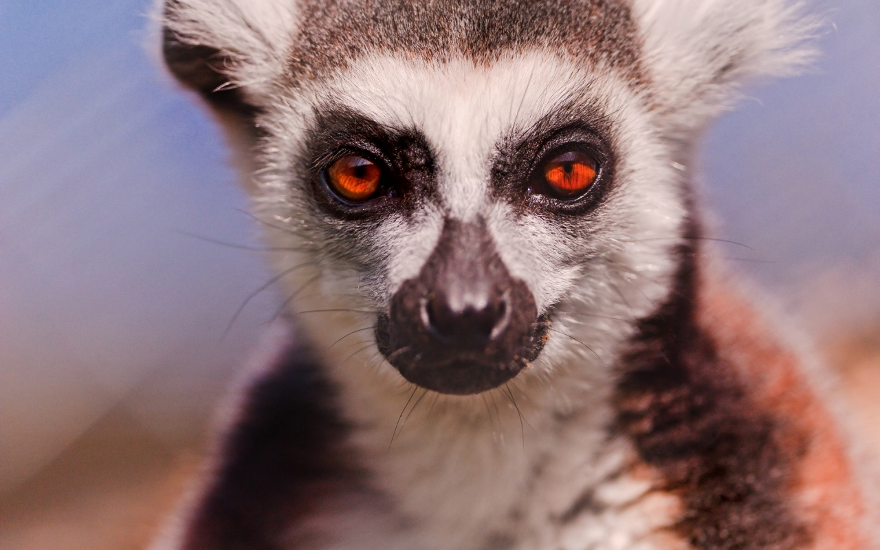 Lemur Pictures Kids Search