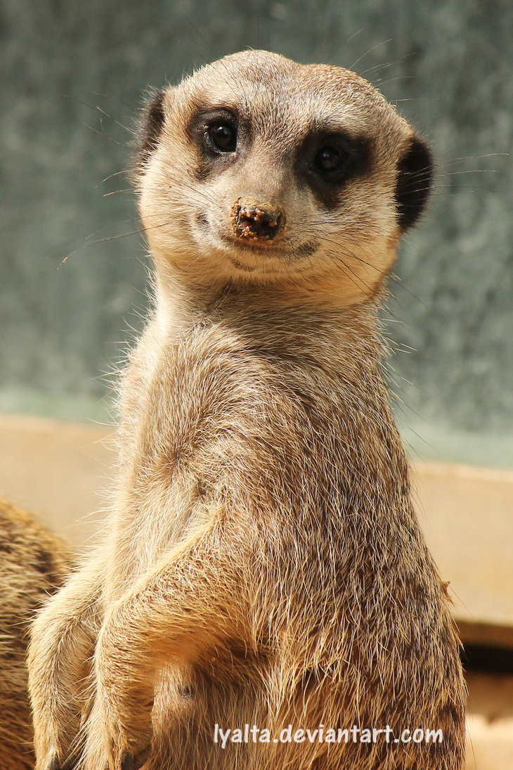Meerkat Pictures Kids Search