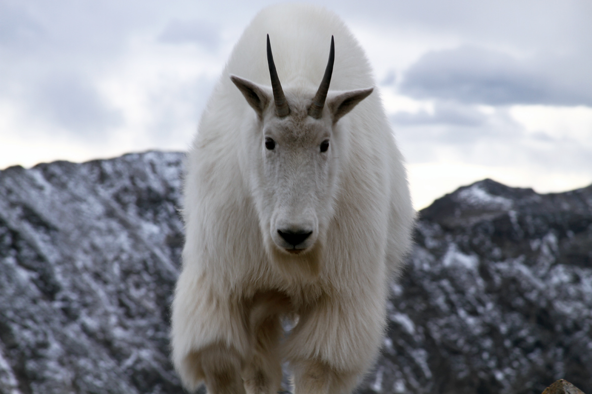 Mountain Goat Pictures Kids Search