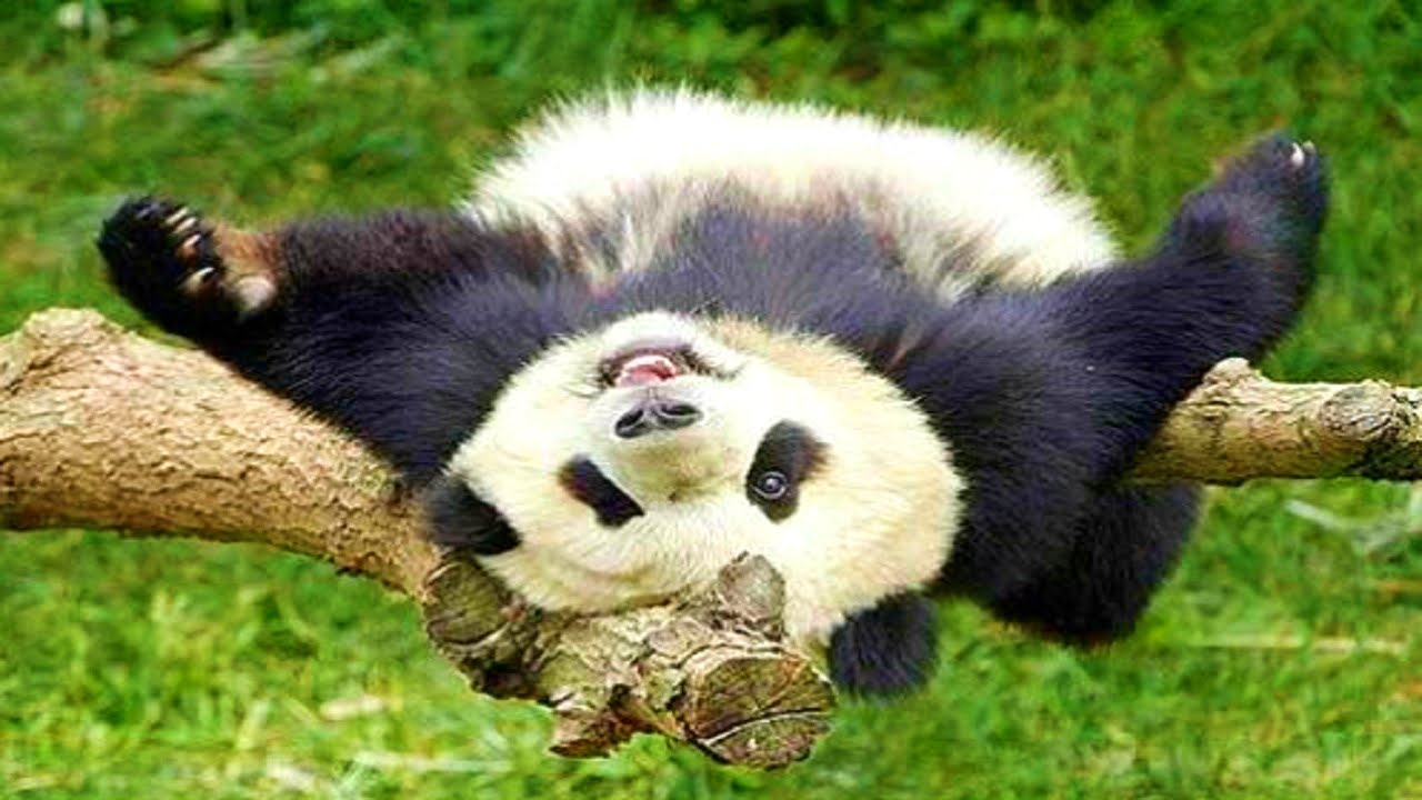 Panda Pictures Kids Search