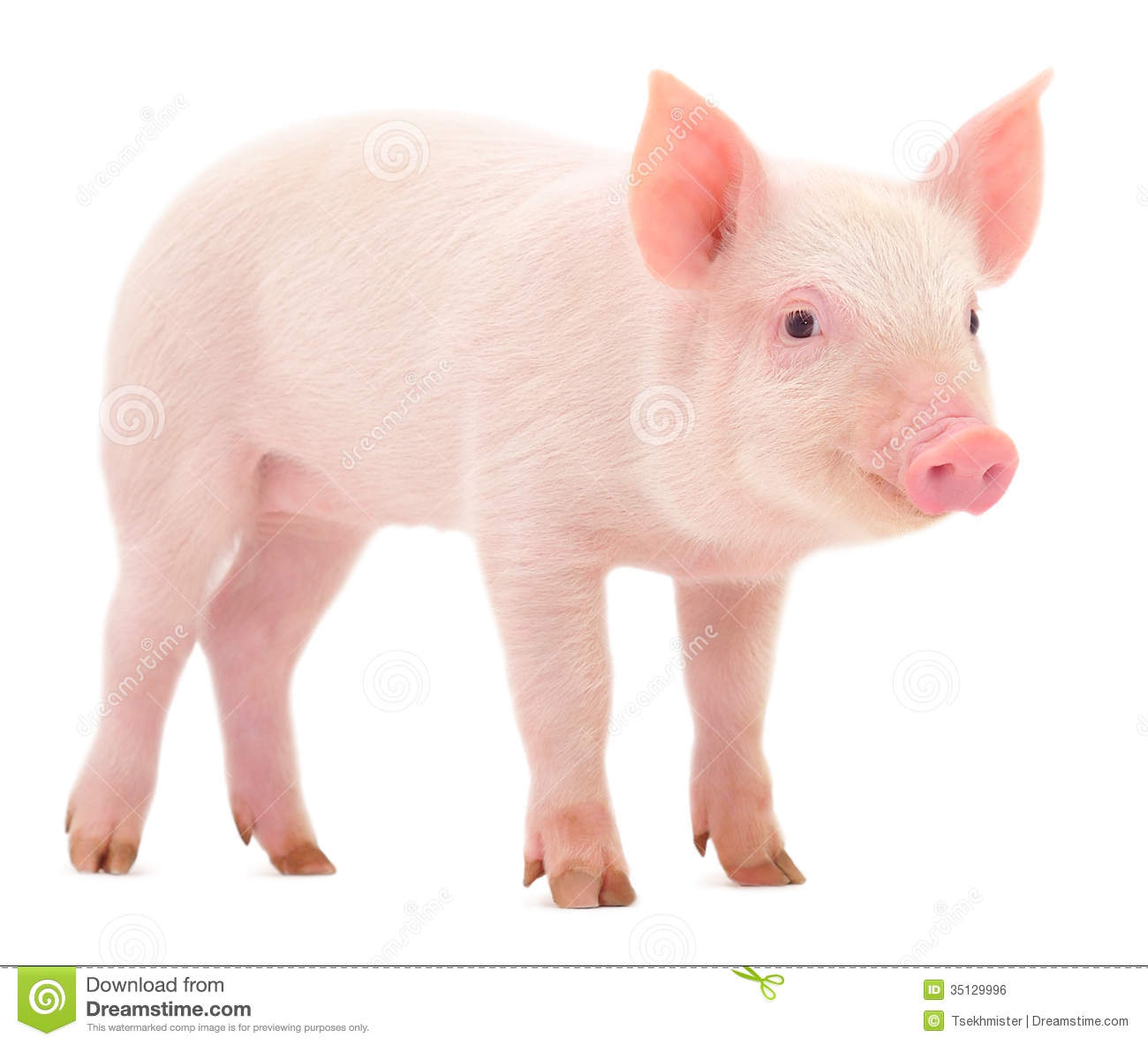 pig pic 1300x1183 d0faed7