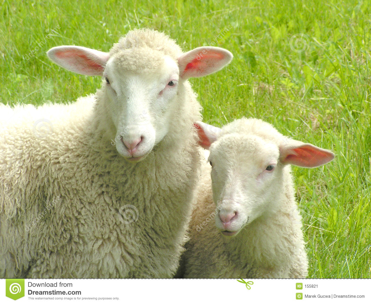 Sheep Pictures Kids Search