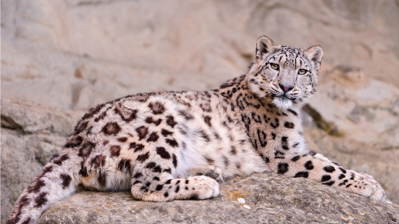 Snow Leopard Pictures Kids Search