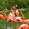 Pictures of flamingo