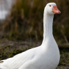 Pictures of goose