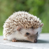 Pictures of hedgehog