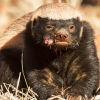 Pictures of honey badger