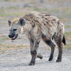 Pictures of hyena