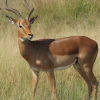 Pictures of impala