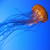 Pictures of jellyfish