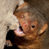 Pictures of mongoose