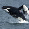 Pictures of orca