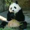 Pictures of panda