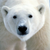 Pictures of polar bear