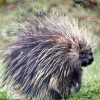 Pictures of porcupine