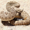 Pictures of rattlesnake