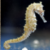 Pictures of seahorse