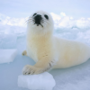 Pictures of seal