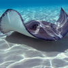 Pictures of sting ray