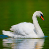 Pictures of swan