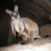 Pictures of wallaby