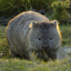 Pictures of wombat