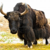 Pictures of yak