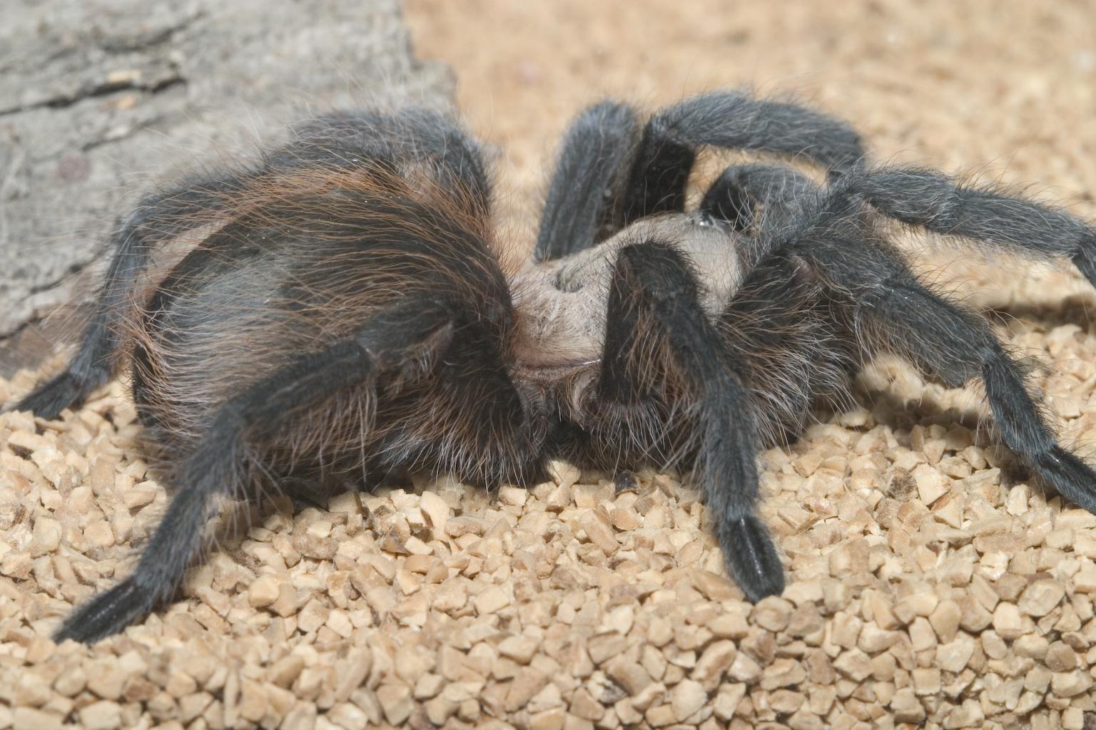 фото самца тарантула отъезда комарова жил