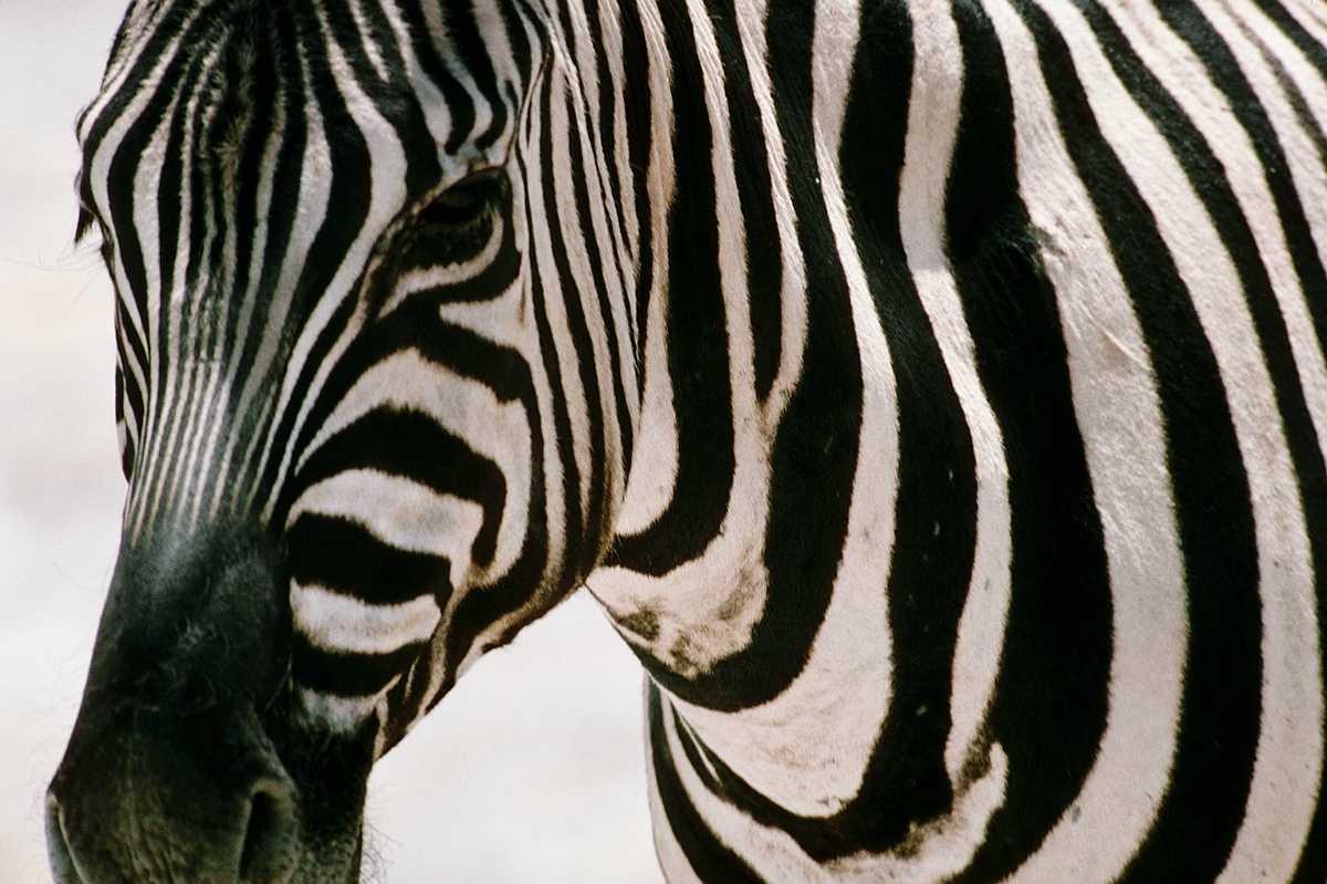 покажи картинки зебры как ее любить а не говори загсов екатеринбурга